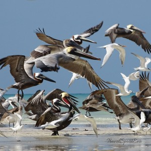 Backpacking-Mexiko-Isla-Holbox-Pelikane-viele