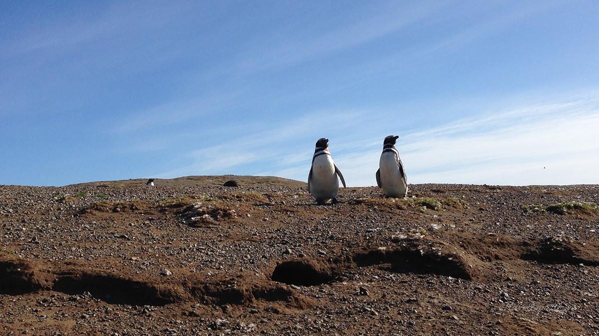 Magellan Pinguine Paar mit Himmel