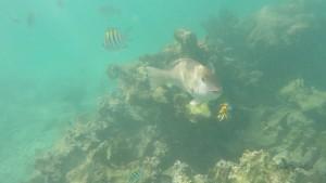 Akumal-Turtle-Bay-Fische