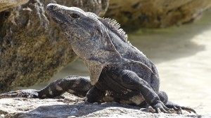 Akumal-Turtle-Bay-Leguan