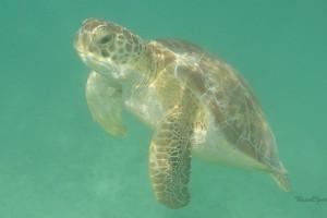 akumal turtle bay Mexiko Schildkröte