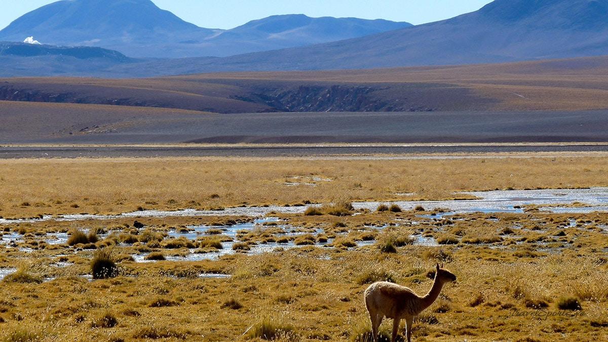 atacama-wüste el tatio lama auf wiese