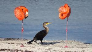 isla-holbox-ausfluege-inseltour-flamingos-storch
