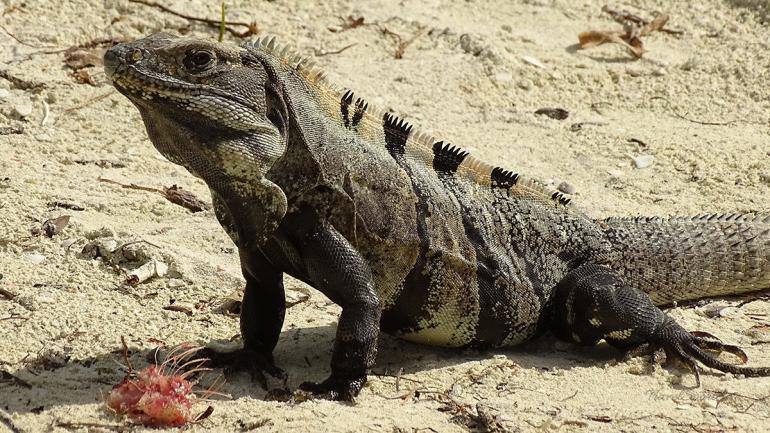 Isla Holbox Ausflüge Inseltour Leguan