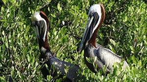 Isla Holbox Ausflüge Inseltour Pelikane