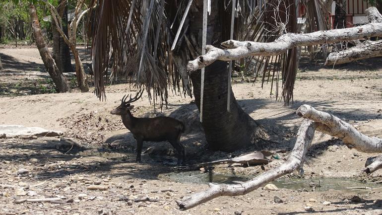 Komodo Island Indonesien Hirsch