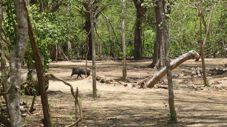Komodo Island Indonesien Wildschwein