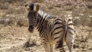 Garden Route Südafrika Radreise Inverdoorn Game Reserve Zebra