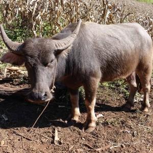 Myanmar Bilder Hsipaw Bison