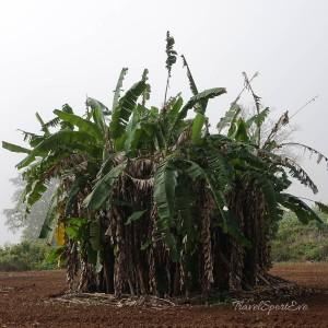 Myanmar-Bilder Hsipaw Palmenbusch